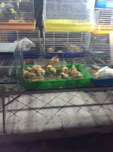 Need more chicks or ducks? Get them at the Festa!